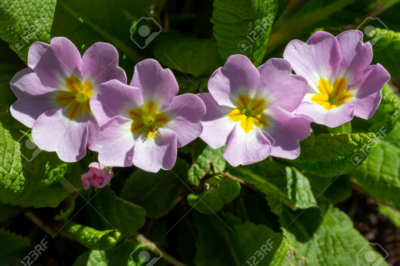 flower primrose on a spring sunny day close-up top view - 165440130