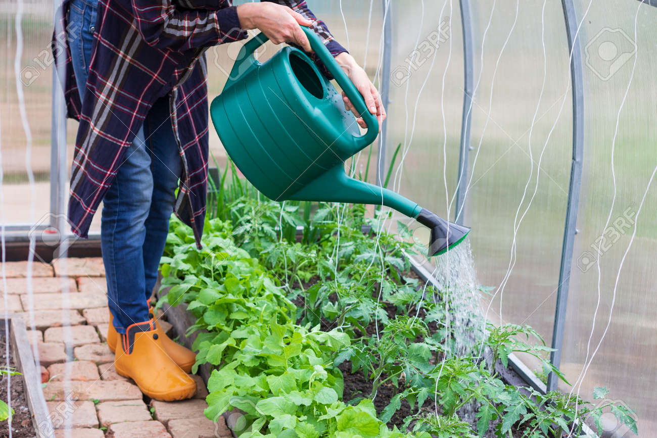 young woman works in a greenhouse, pours water from a watering can over tomato bushes, cucumbers and radishes on a spring morning - 169308592