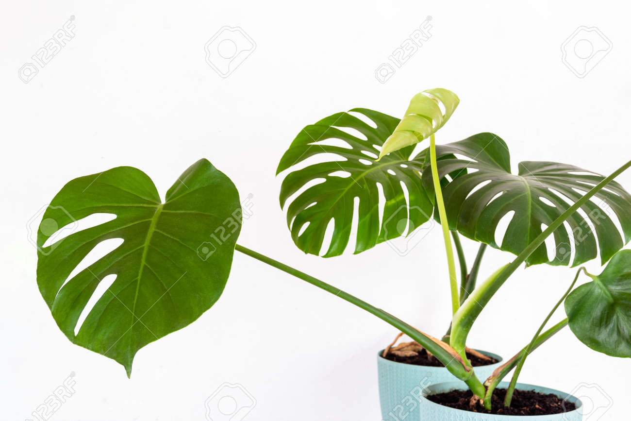 green tropical monstera plant in a flower pot against a white wall close-up - 169308597