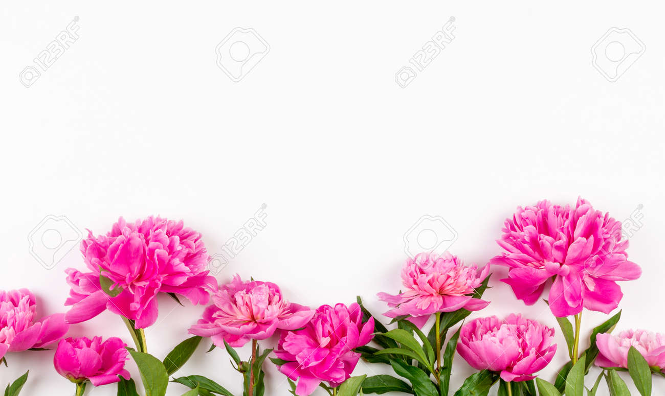 pink peony flowers on a white background with a copy space - 169308576