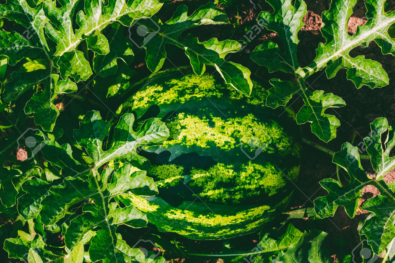 Ripe striped watermelon on a bed of green leaves top view - 169308589