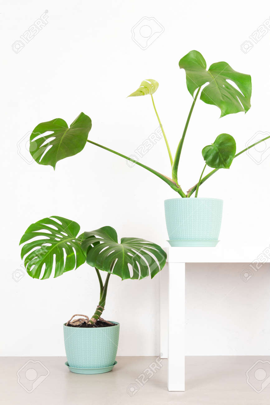 green tropical monstera plants in a flower pots against a white wall - 169308559