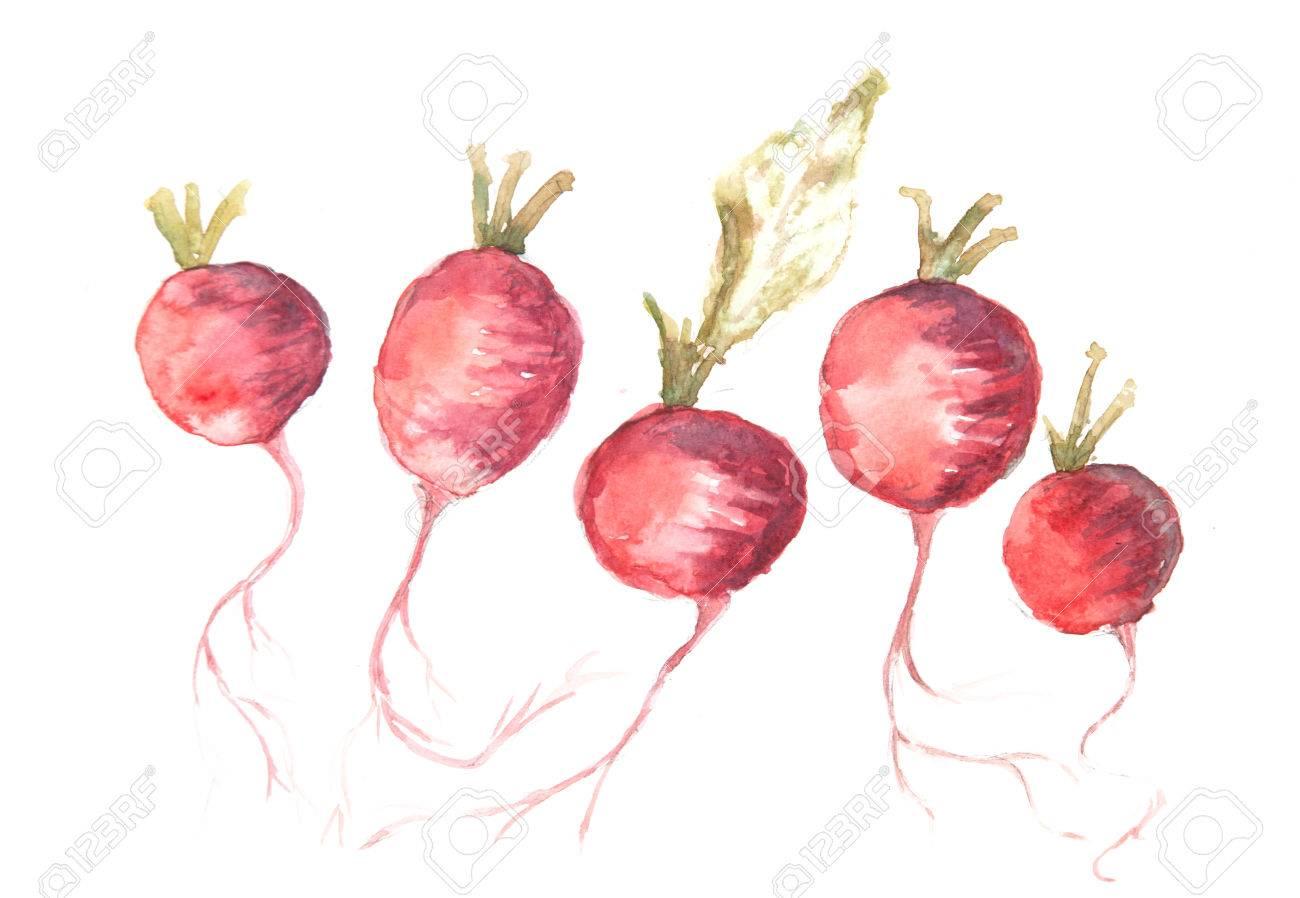 Roter Rettich Kunst, Aquarell Gemüse Malerei Lizenzfreie Fotos ...
