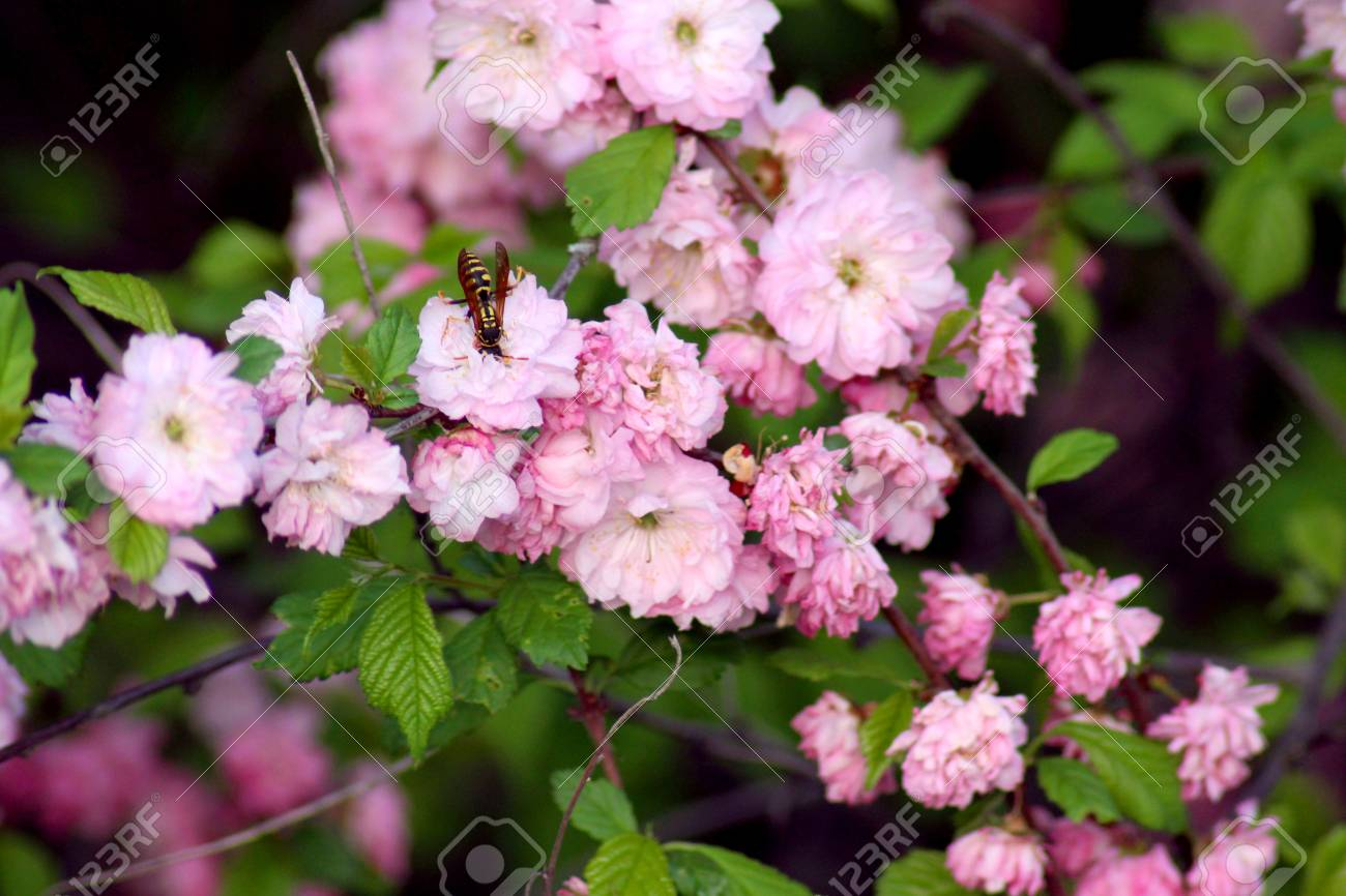Flowering almond bush stock photo picture and royalty free image flowering almond bush stock photo 101143751 mightylinksfo