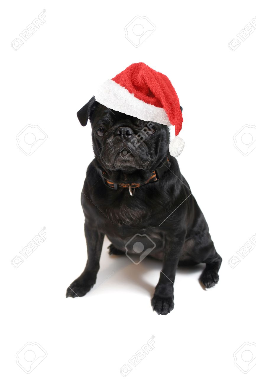 festive christmas black pug with red santa claus hat on white