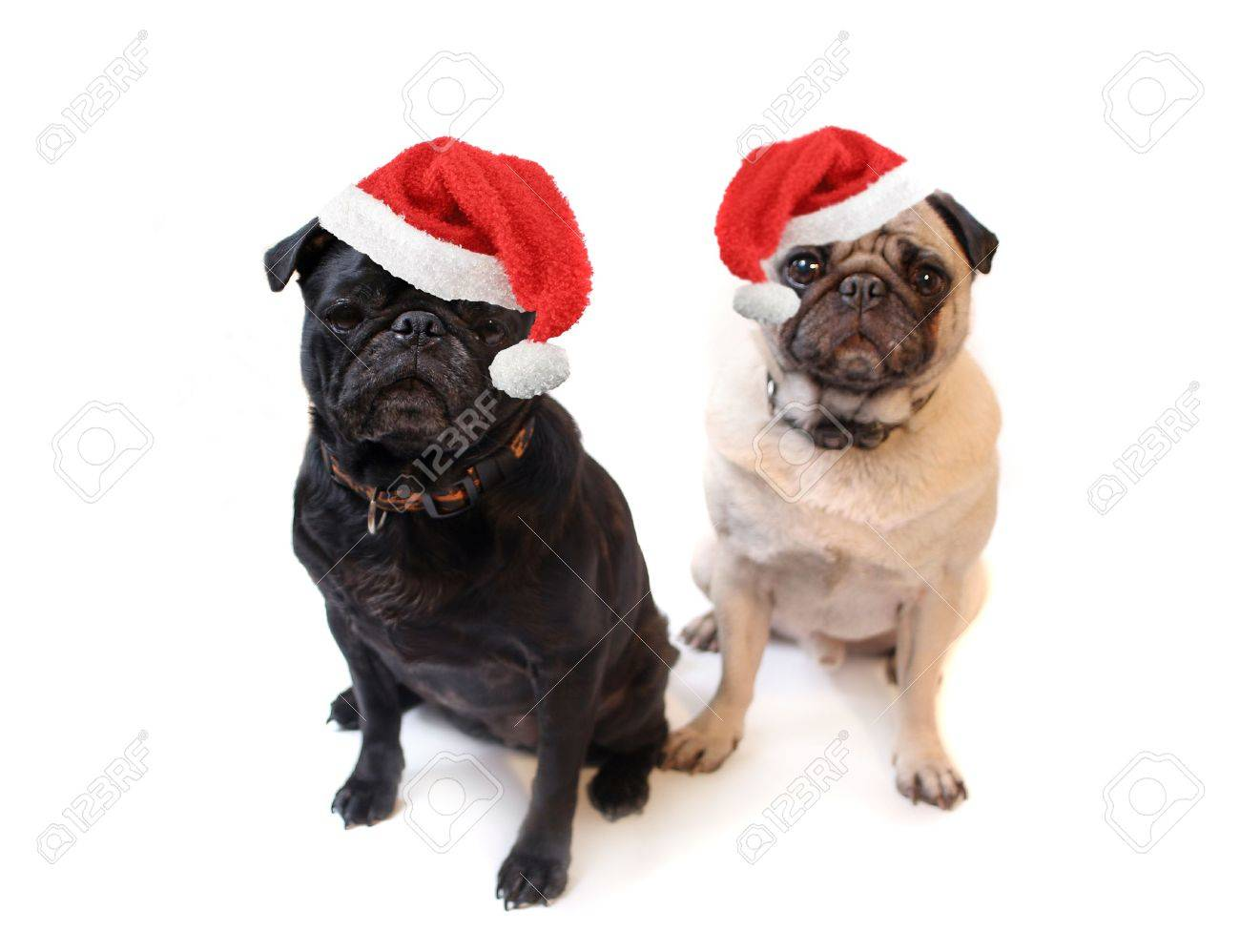 Black and Fawn colored Pugs with christmas santa claus hats   on a white background, focus on black dog's face Stock Photo - 3804490