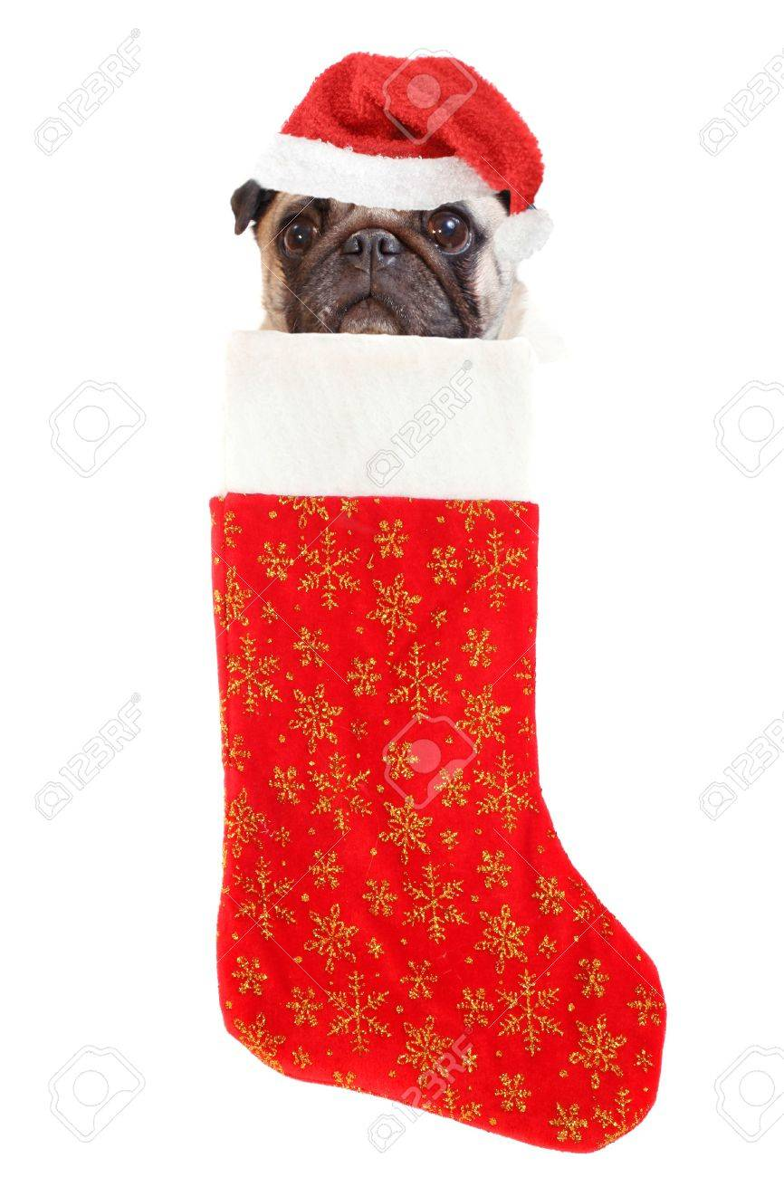e79981a5ef982 pug with santa claus hat inside festive christmas stocking with gold stars  hanging isolated on a