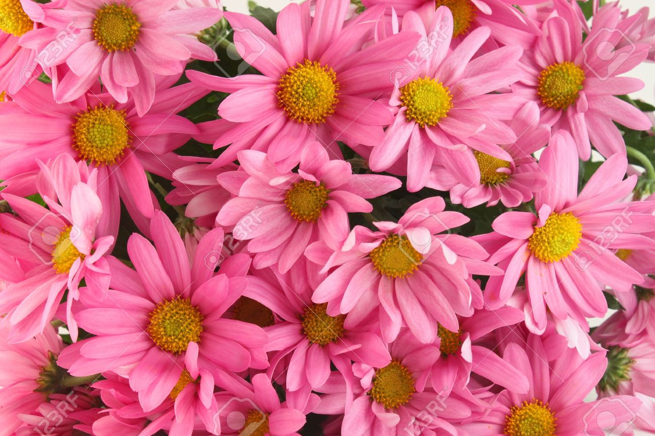 Background of pink daisy flowers a sign of spring stock photo background of pink daisy flowers a sign of spring stock photo 6700051 mightylinksfo
