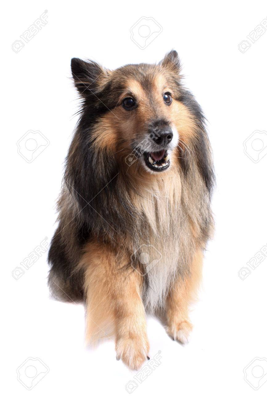 Small Shetland Sheepdog Or Sheltie Giving Paw Or Pointing At Stock Photo Picture And Royalty Free Image Image 26932520