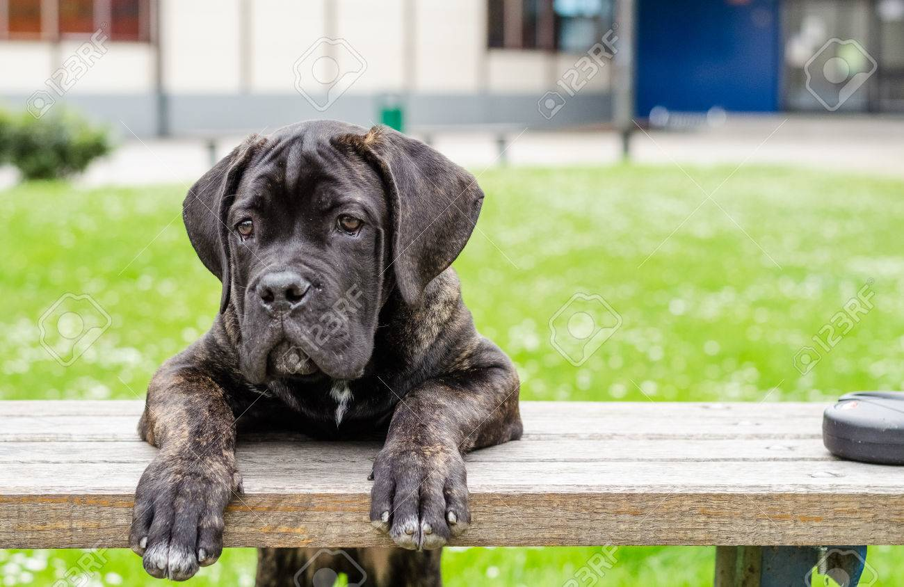Dog Cane Corso Puppy Stock Photo Picture And Royalty Free Image