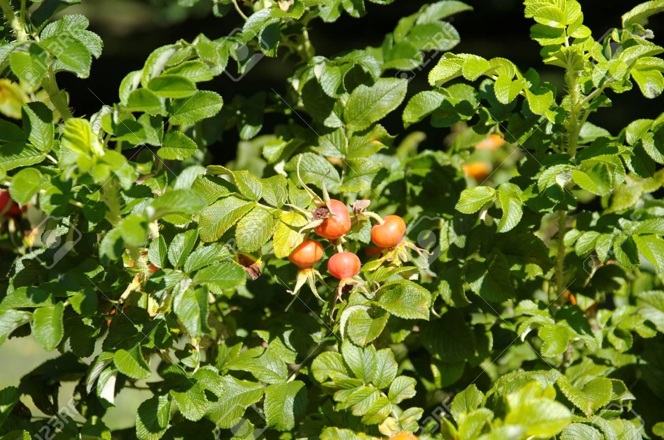 Super Briar Früchte, Wilde Hagebutten Strauch In Der Natur. Lizenzfreie @US_64