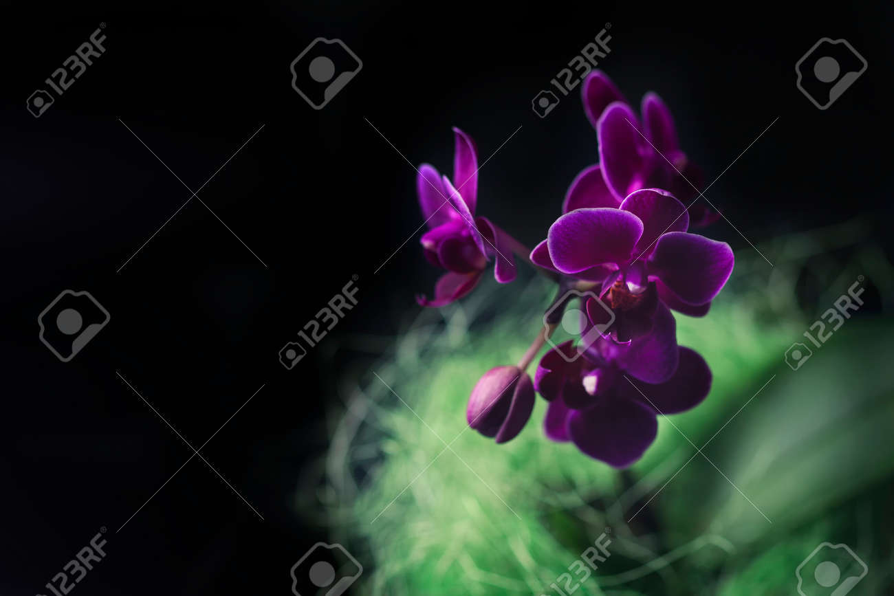 Mini Orchid Phalaenopsis In A Pot With Flowers And Buds On