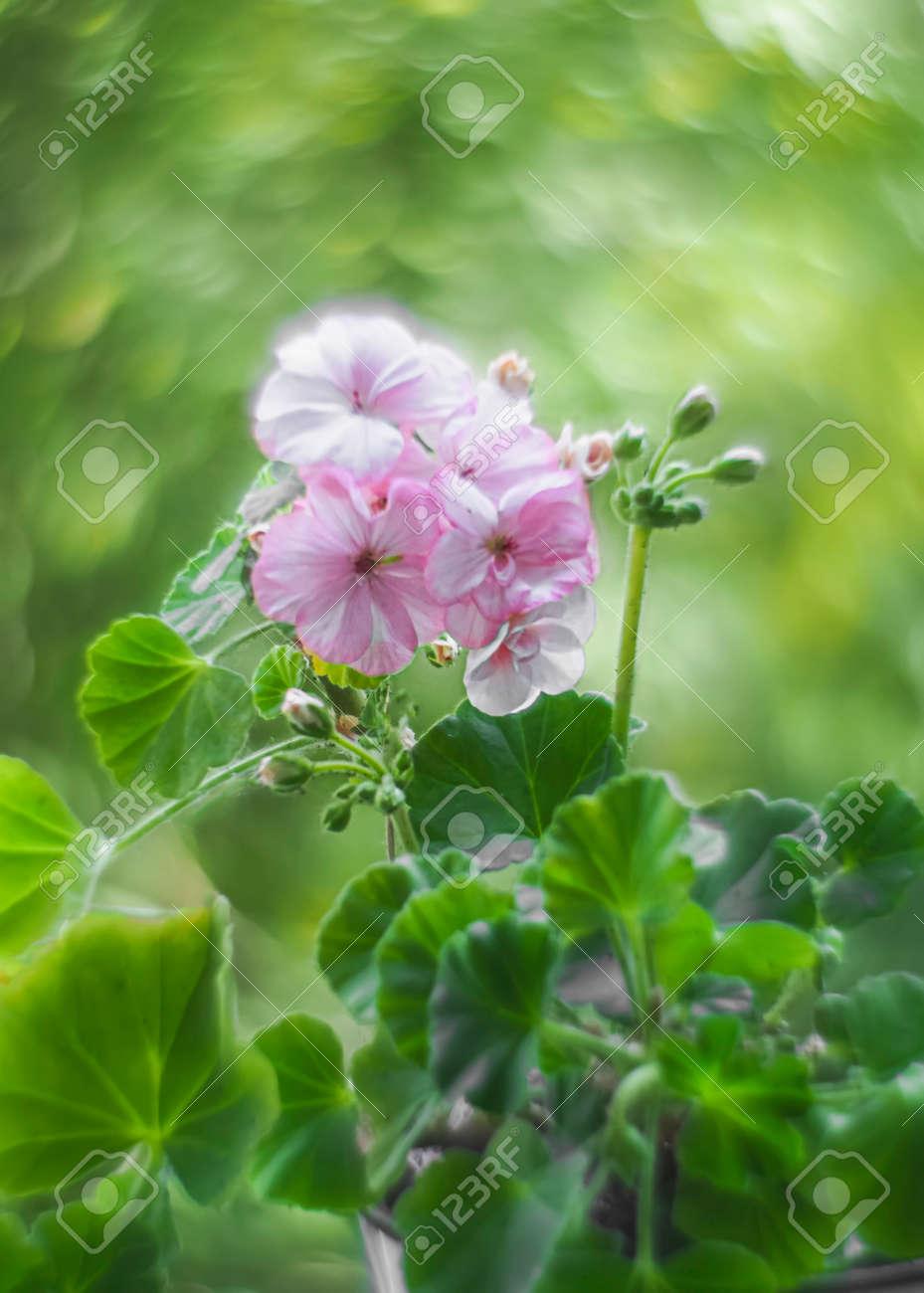 Bokeh swirled by the Helios lens around a pink geranium flowers. Geranium Peltatum. Geranium essential oil. - 171890460