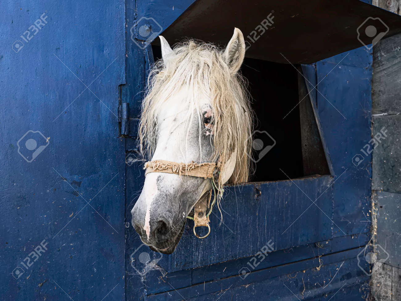 White horse in the stable. Horse in stable looking outside. - 172778661