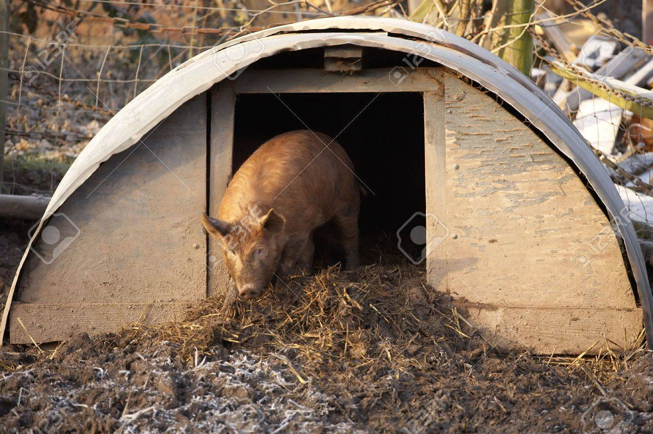 Tamworth Pig Coming Out Of Sty