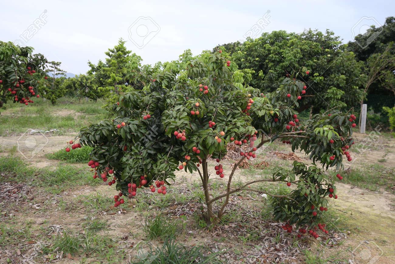 lychee tree എന്നതിനുള്ള ചിത്രം