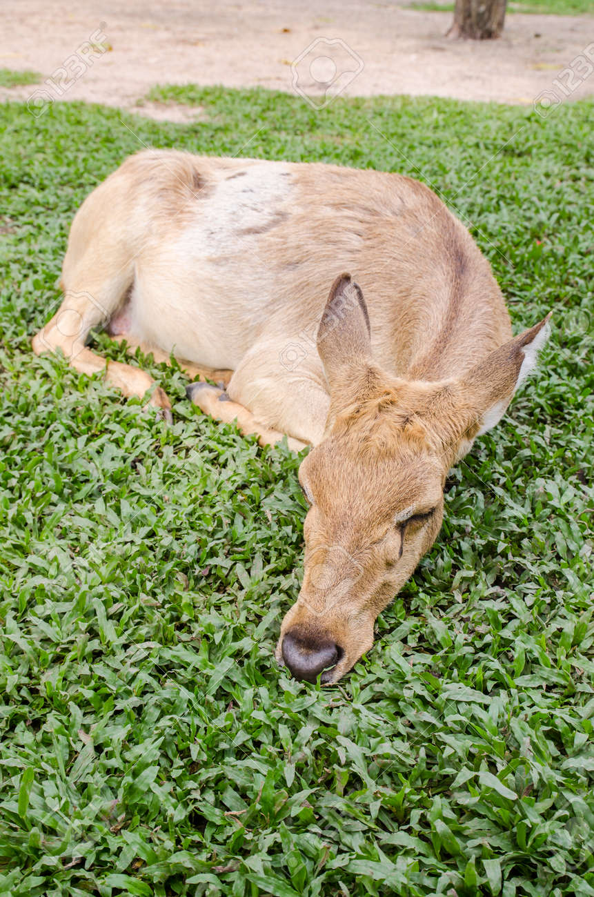 close-up Siamese Eld's deer (Cervus eldi) Stock Photo - 26502065
