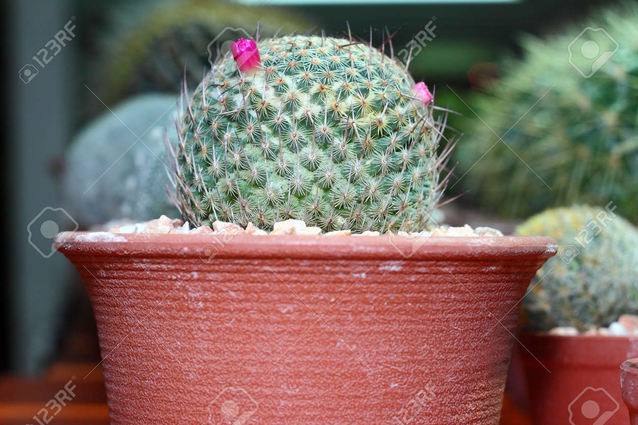 A small cactus with budding pink flower grow in the pot stock photo a small cactus with budding pink flower grow in the pot stock photo 16407684 mightylinksfo Images