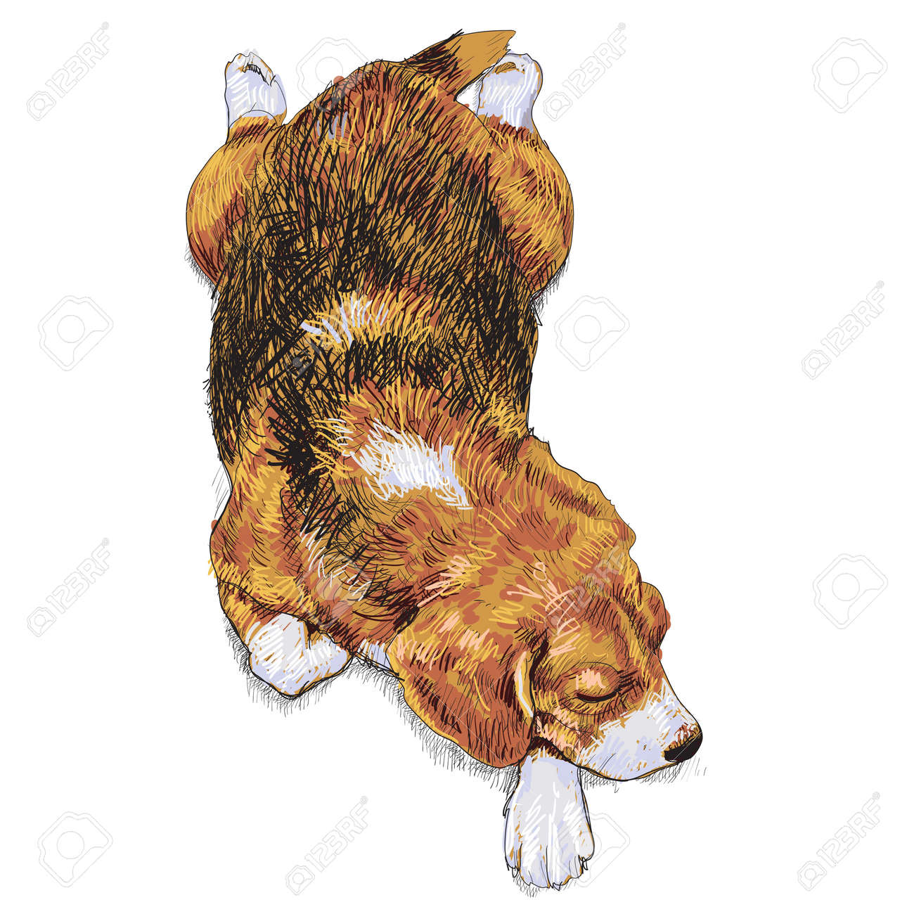 drawing of sleeping beagle Stock Vector - 17736501