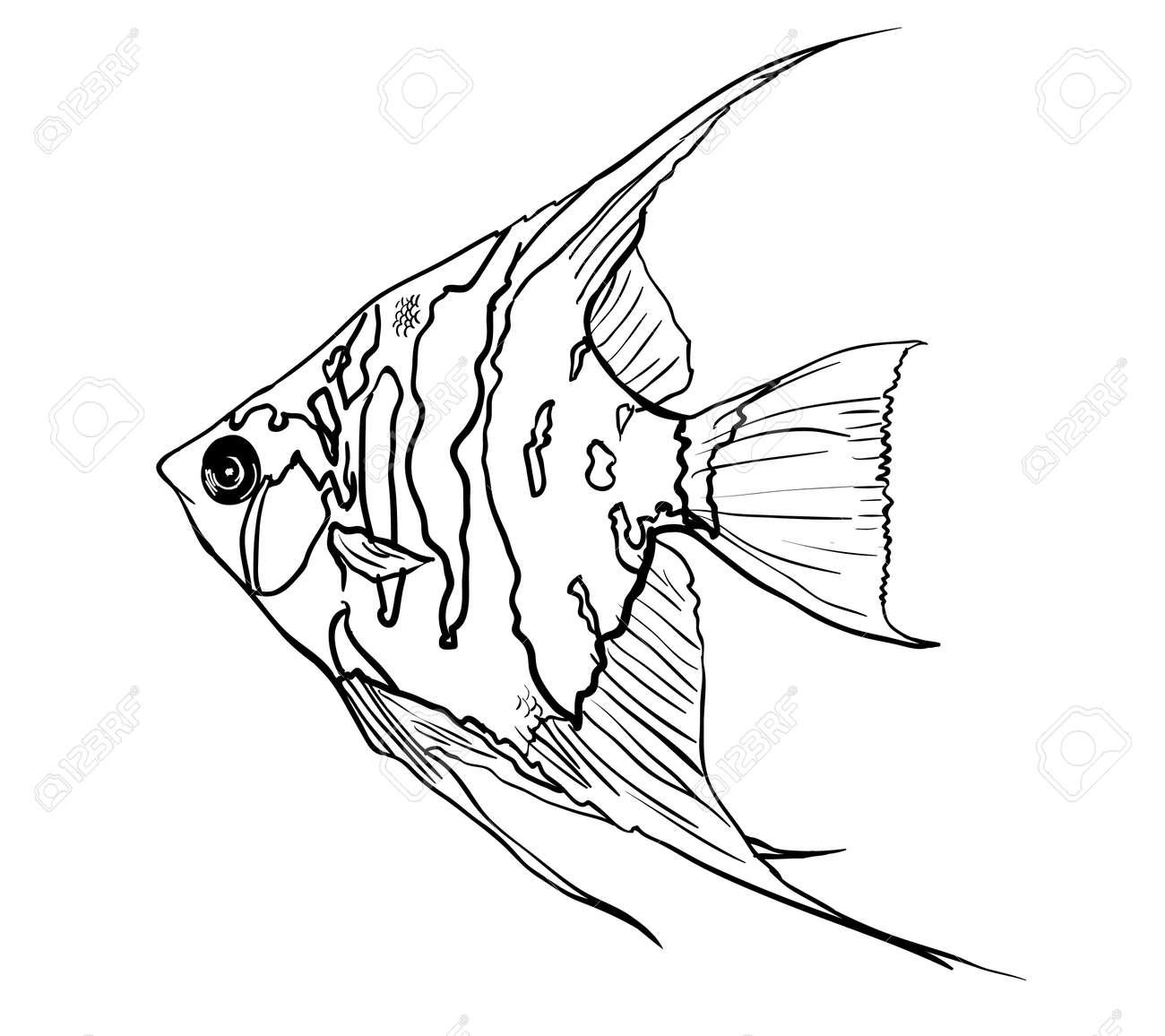 Angel fish,Pterophyllum species originate from the Amazon Rive Stock Photo - 22224679