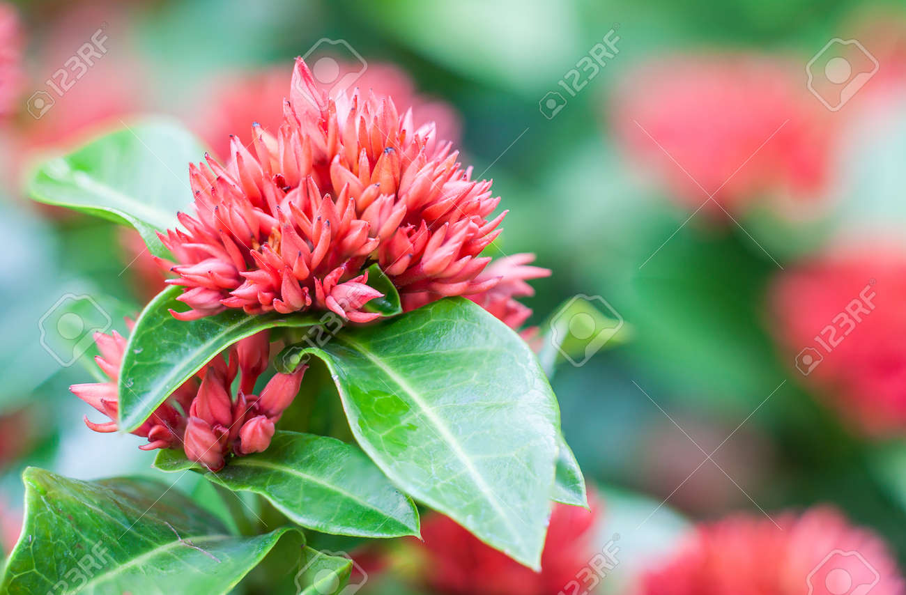 Close Up West Indian Jasmine Flower On Green Background Stock Photo