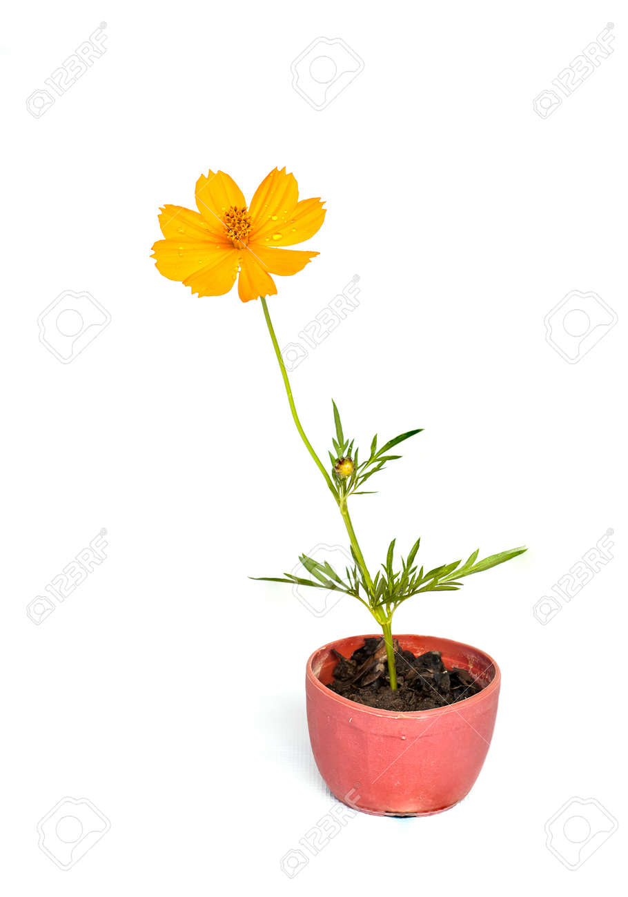 269 & Cosmos flower stalk stick to soil in small flower pot on white..