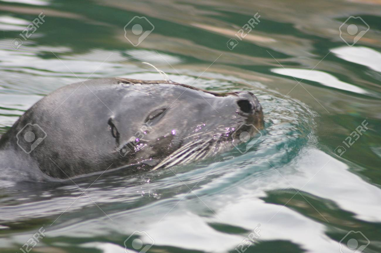 Detail view of a floating seal  Phoca vitulina Stock Photo - 12554510