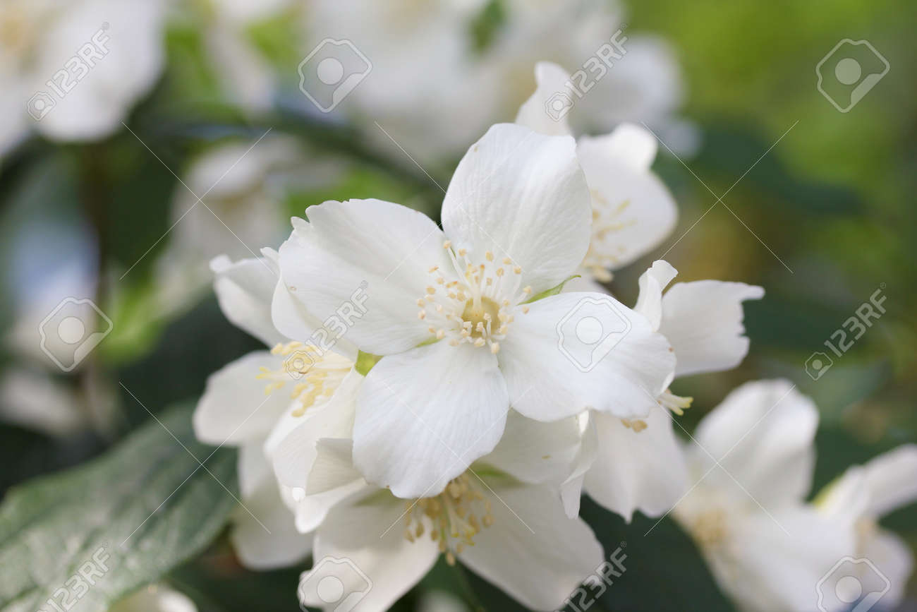 A White Flower With Four Petals Stock Photo Picture And Royalty