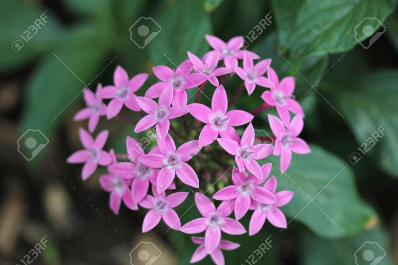 Inflorescence With Many Star Shaped Blue Flowers Stock Photo