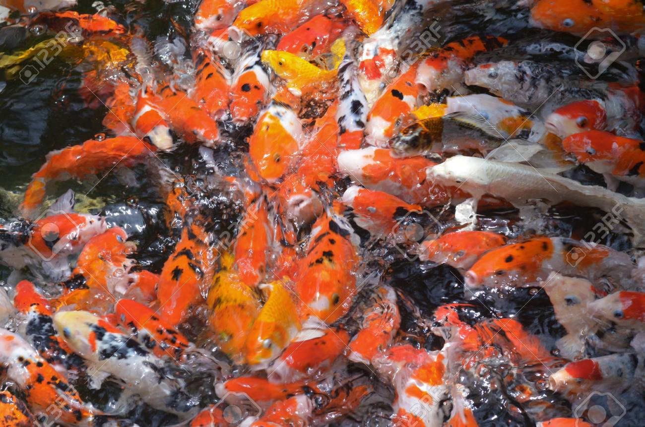 Koi Fish Varieties Photos >> Koi Wikipedia. Wholesale Pond Plants ...