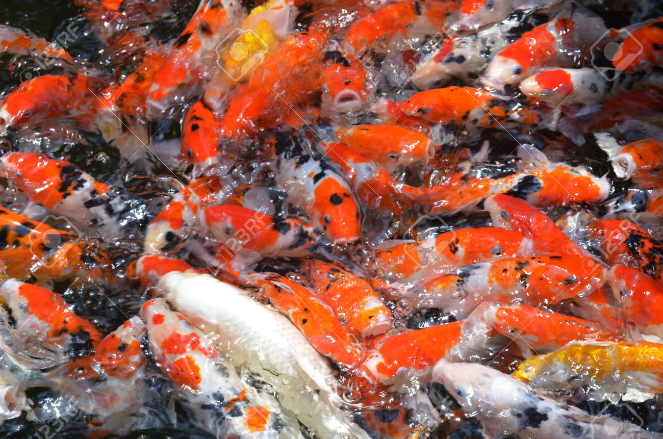 Koi Fish Varieties Pictures >> Wholesale Pond Plants Water Garden ...