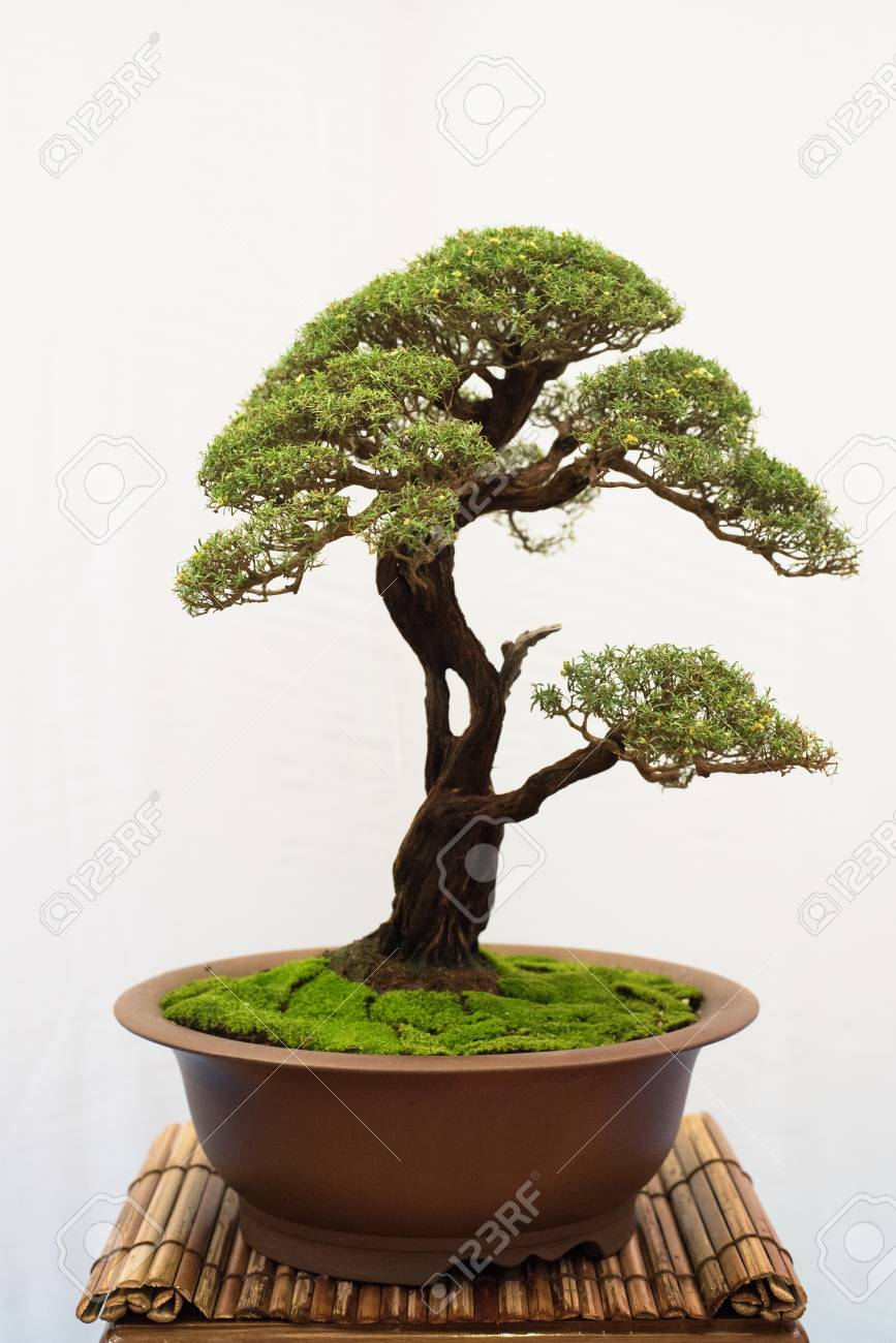 Bonsai Tree Isolated On White Background Japanese Tray Planting Stock Photo Picture And Royalty Free Image Image 111224149