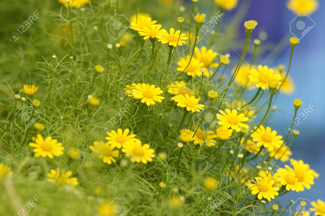 Beautiful Tiny Yellow Flowers Stock Photo Picture And Royalty Free
