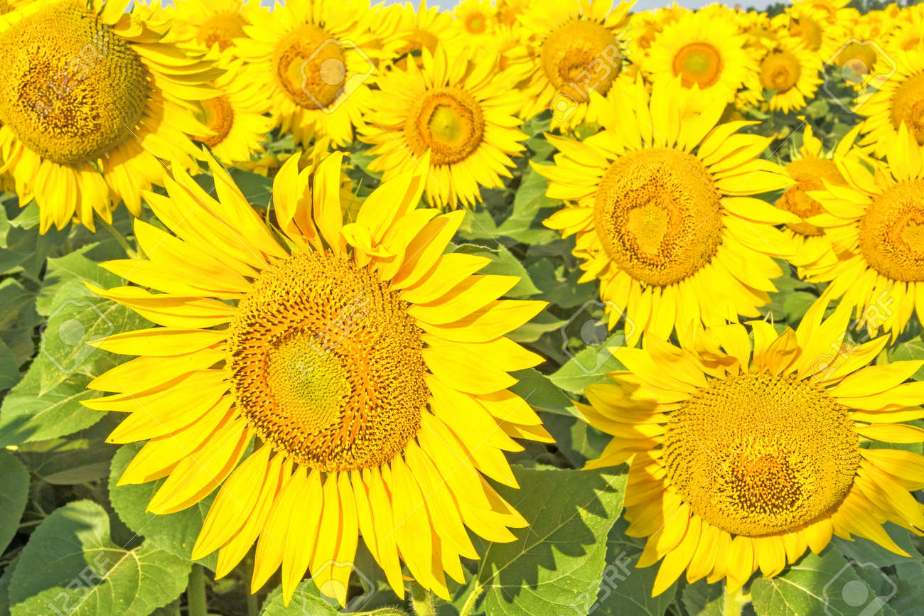 Bright yellow flowers of sunflowers on a background of green stock bright yellow flowers of sunflowers on a background of green leaves in a field on sunny mightylinksfo