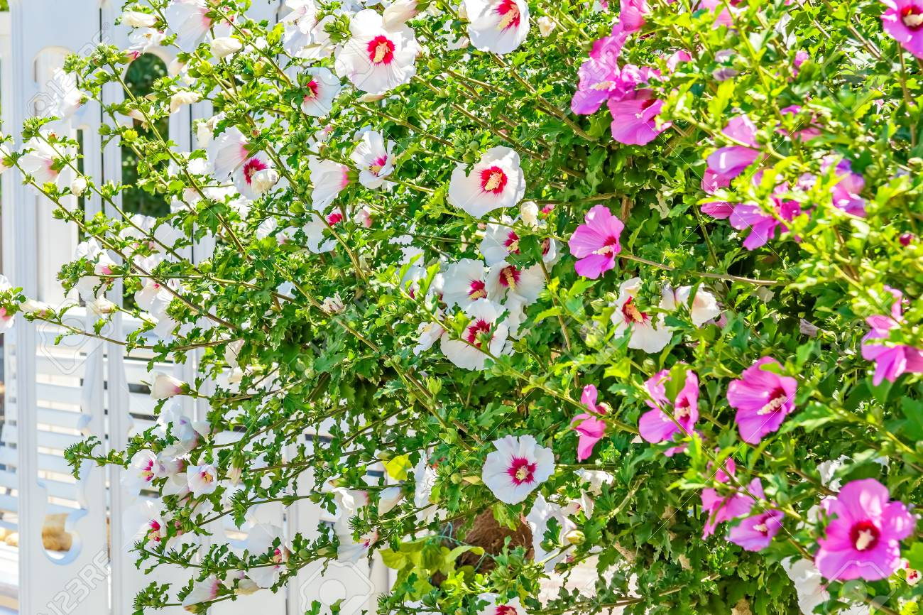 Flowering bushes of white and pink hibiscus against a white wooden flowering bushes of white and pink hibiscus against a white wooden pergola close up izmirmasajfo