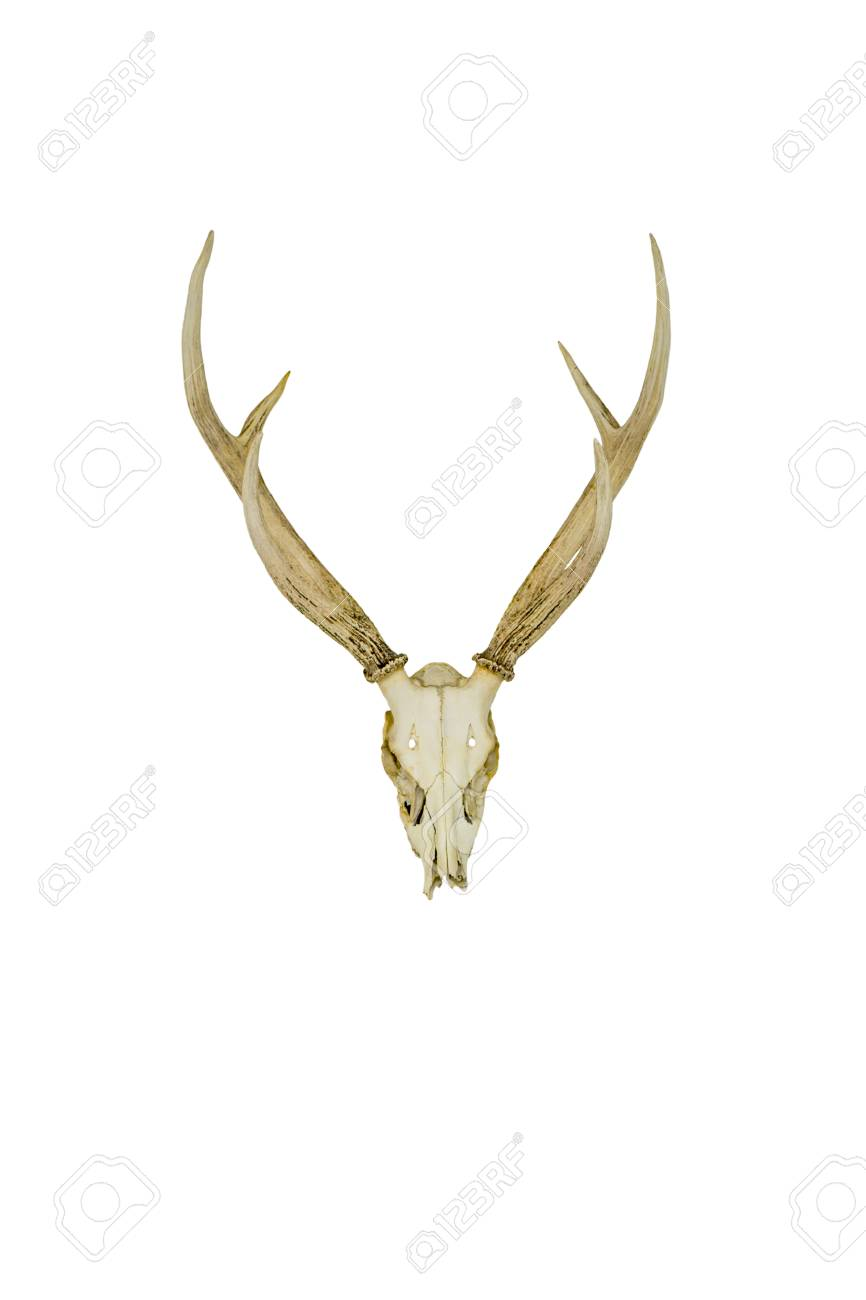 Mule Deer Antlers Isolated On White Backgrounds Stock Photo, Picture ...