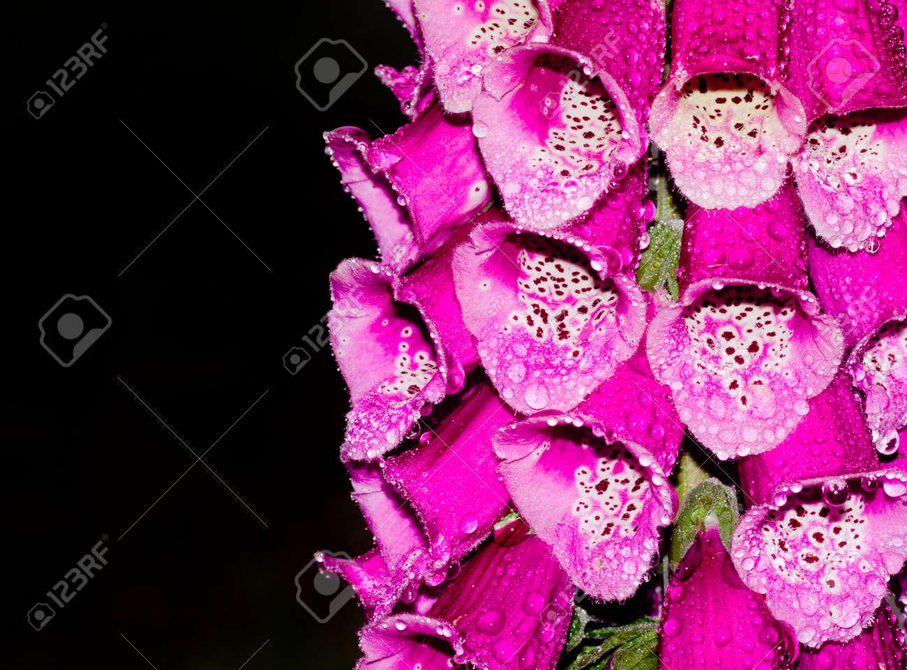 Close up of pink purple digitalis or foxglove flowers with water close up of pink purple digitalis or foxglove flowers with water drops on black background stock mightylinksfo
