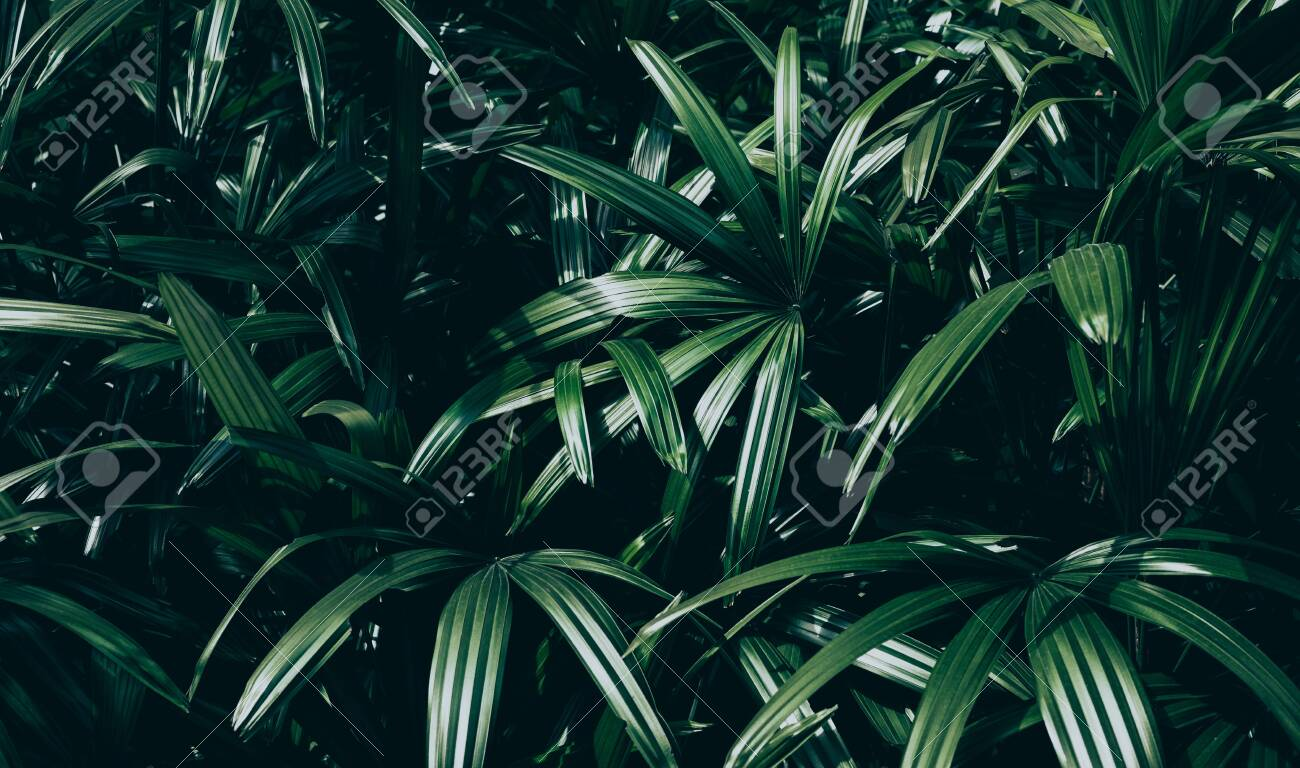 Tropical Leaves Background Jungle Leaf In Dark Stock Photo Picture And Royalty Free Image Image 137972740 Place the following text somewhere in your final work to credit the. tropical leaves background jungle leaf in dark