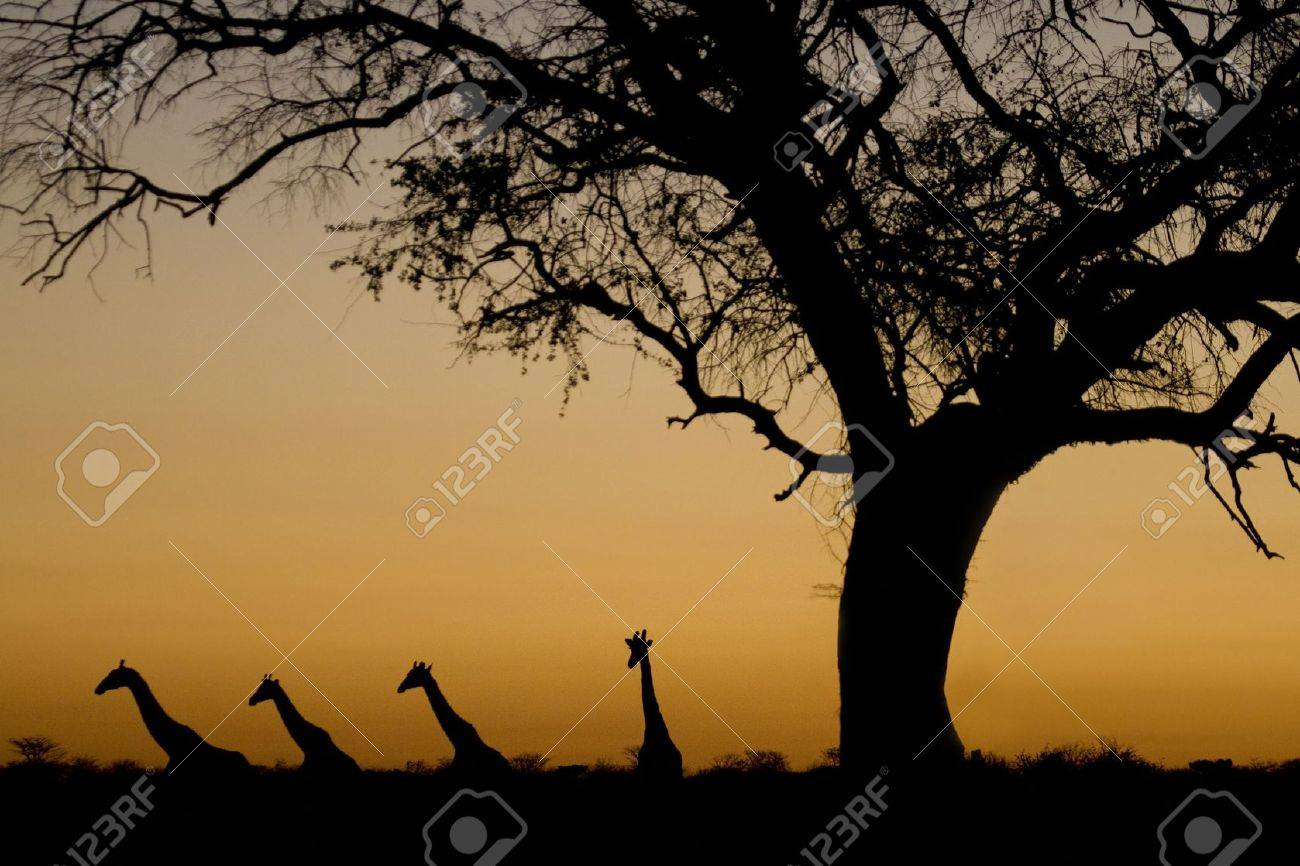 Four Giraffes (Giraffa camelopardalis) walking in a line, and an acacia tree, silhouetted against an orange sunset in Etosha National Park, Namibia, Africa. by Hal Brindley Stock Photo - 7157136