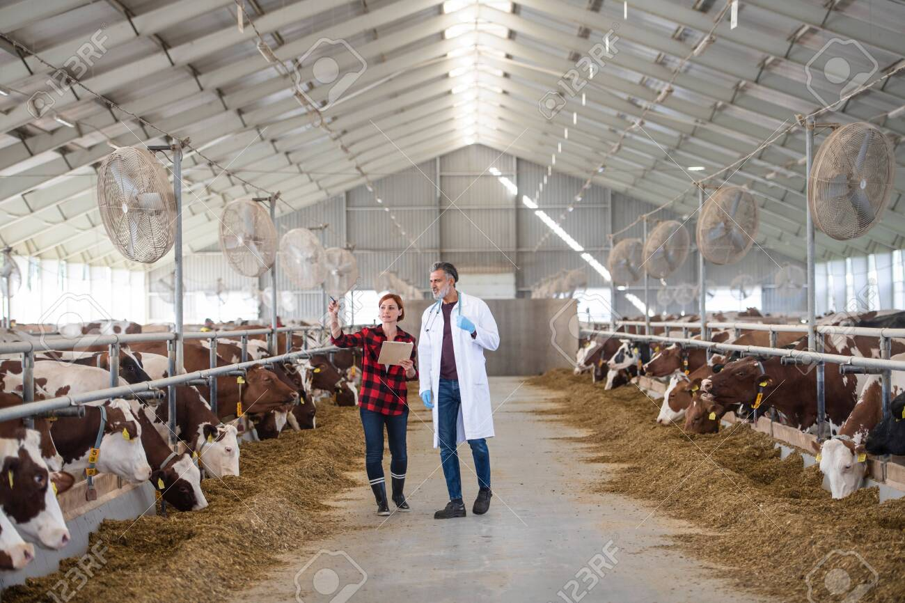 A woman manager and veterinary doctor on diary farm, agriculture industry. - 142532092