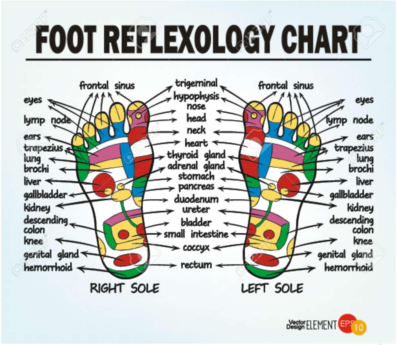 Foot reflexology chart vector illustration royalty free cliparts