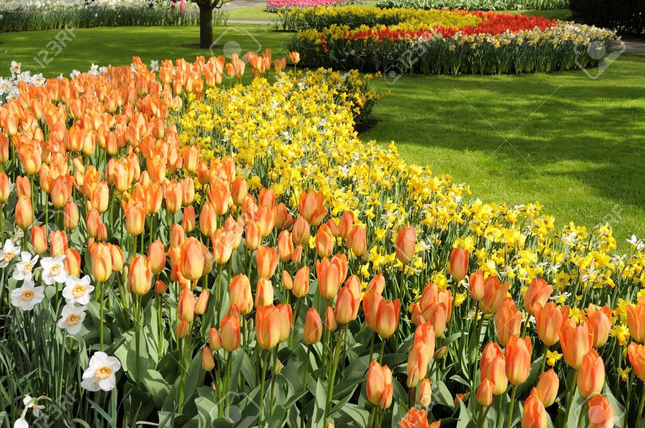 orange imperor tulips, netherlands Stock Photo - 13891865