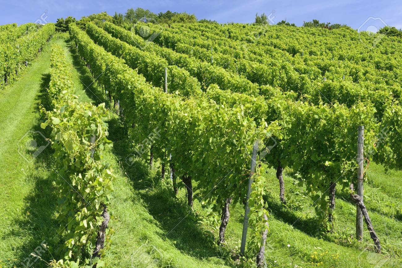hilly vineyard, Stuttgart Stock Photo - 17030323