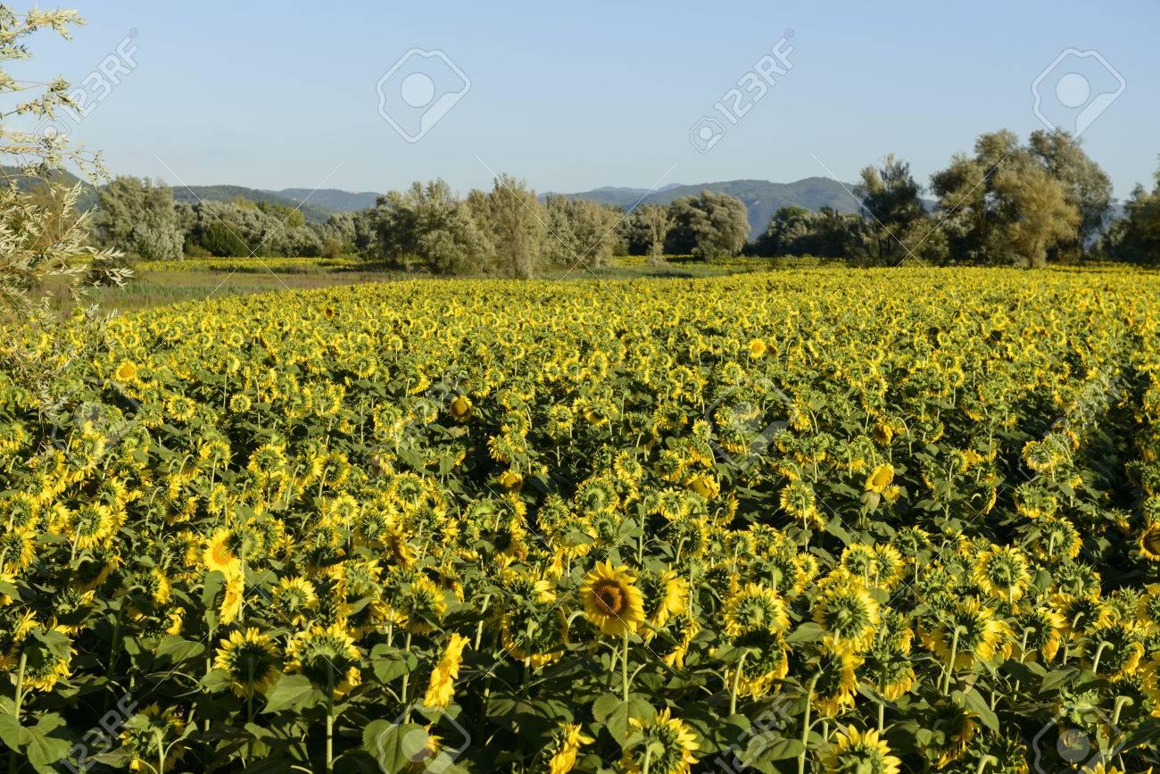 Campi di girasoli nella valle santa 02, Rieti, paesaggio con i gialli campi  di girasoli nella rigogliosa campagna della valle santa, così chiamata ...