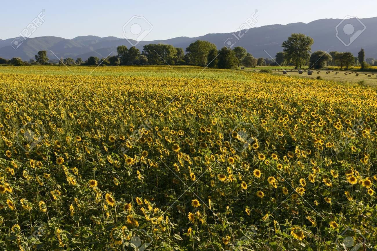 Paesaggio con campi di girasoli gialli nella rigogliosa campagna della  \