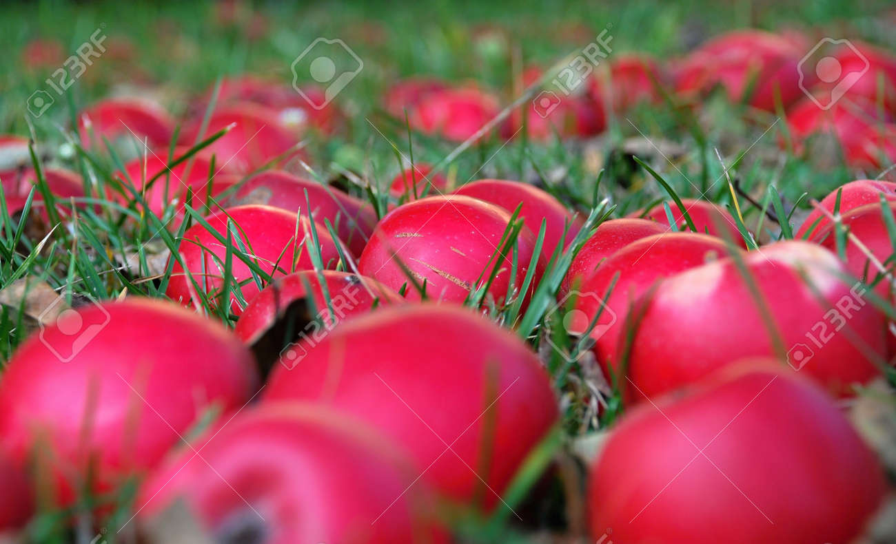 Autumn apples falled to the ground from tree. Stock Photo - 9277679