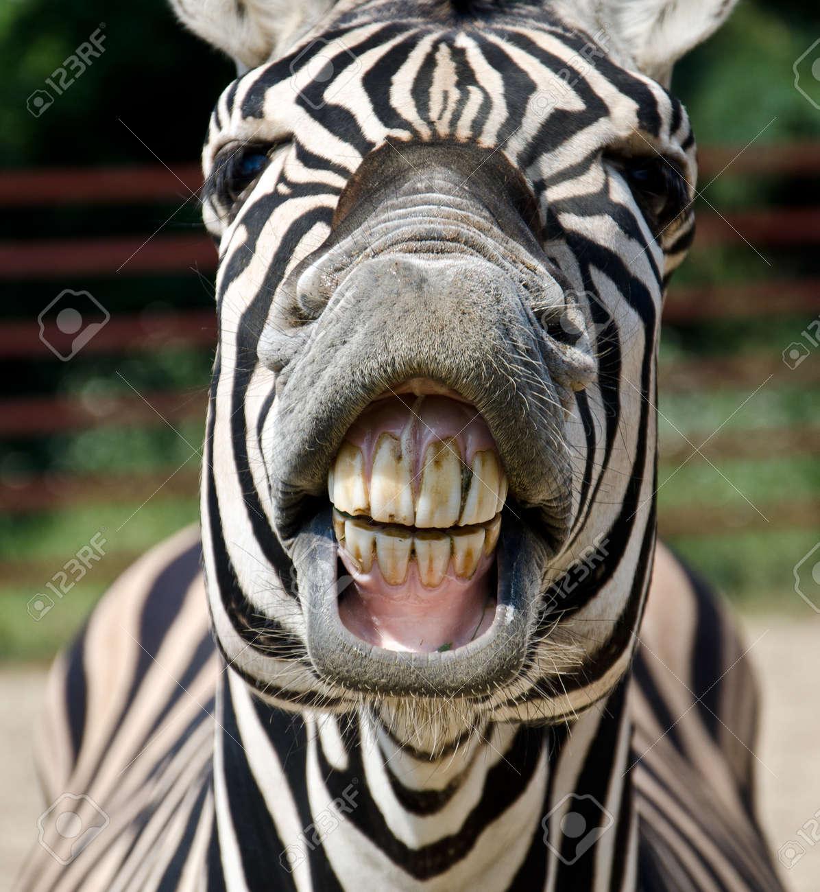 Zebra smile and teeth Stock Photo - 25179108