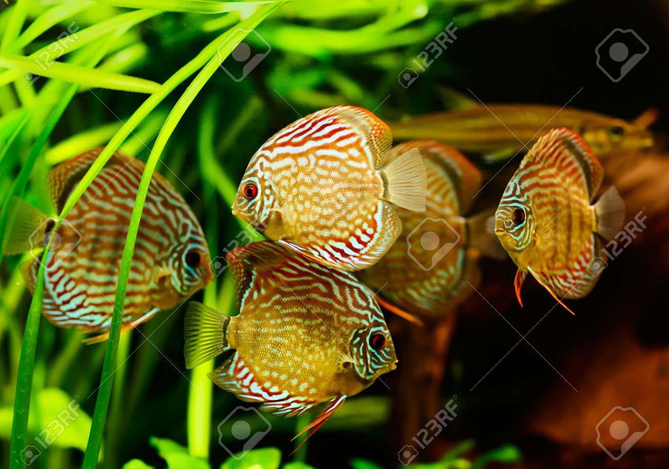 Discus fish (Symphysodon) swimming underwater Stock Photo - 16799089