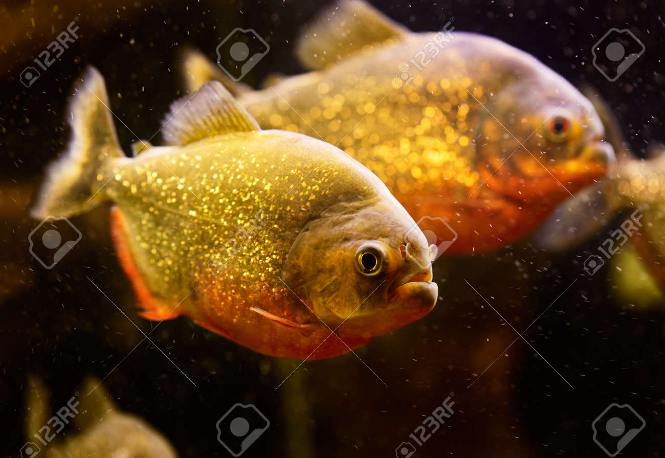 Red piranha (Serrasalmus nattereri) swimming underwater Stock Photo - 16799132