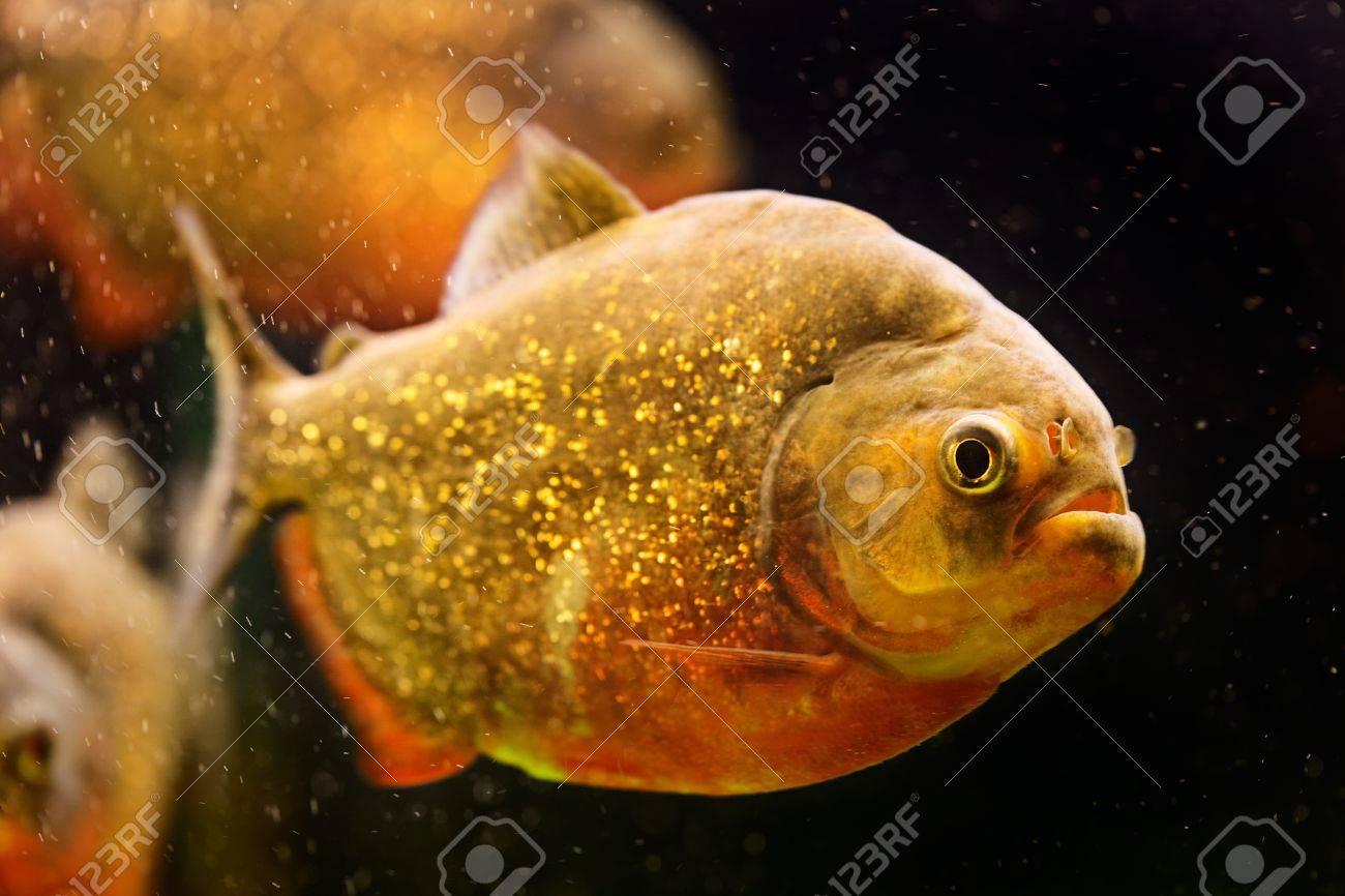 Red piranha (Serrasalmus nattereri) swimming underwater Stock Photo - 16799632